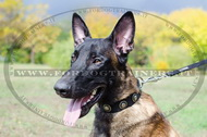 Collare in nylon con borchie rotonde per Malinois