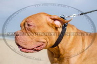 Collare classico in cuoio per cane, 40 mm per Dogue de Bordeaux