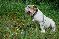 Collare in cuoio con borchie a piramidi per Bulldog inglese