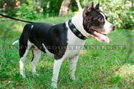 Collare in nylon con borchie rotonde nichelate per Amstaff