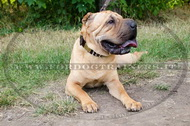 Collare decorativo per Shar Pei