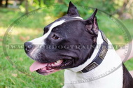 Collare in cuoio con piastre decorative per Amstaff