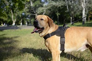 Pettorina universale in nylon per Golden Retriever