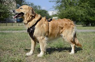 Pettorina universale in pelle naturale per Golden Retriever