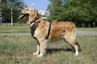 Pettorina esclusiva in pelle con borchie per Golden Retriever